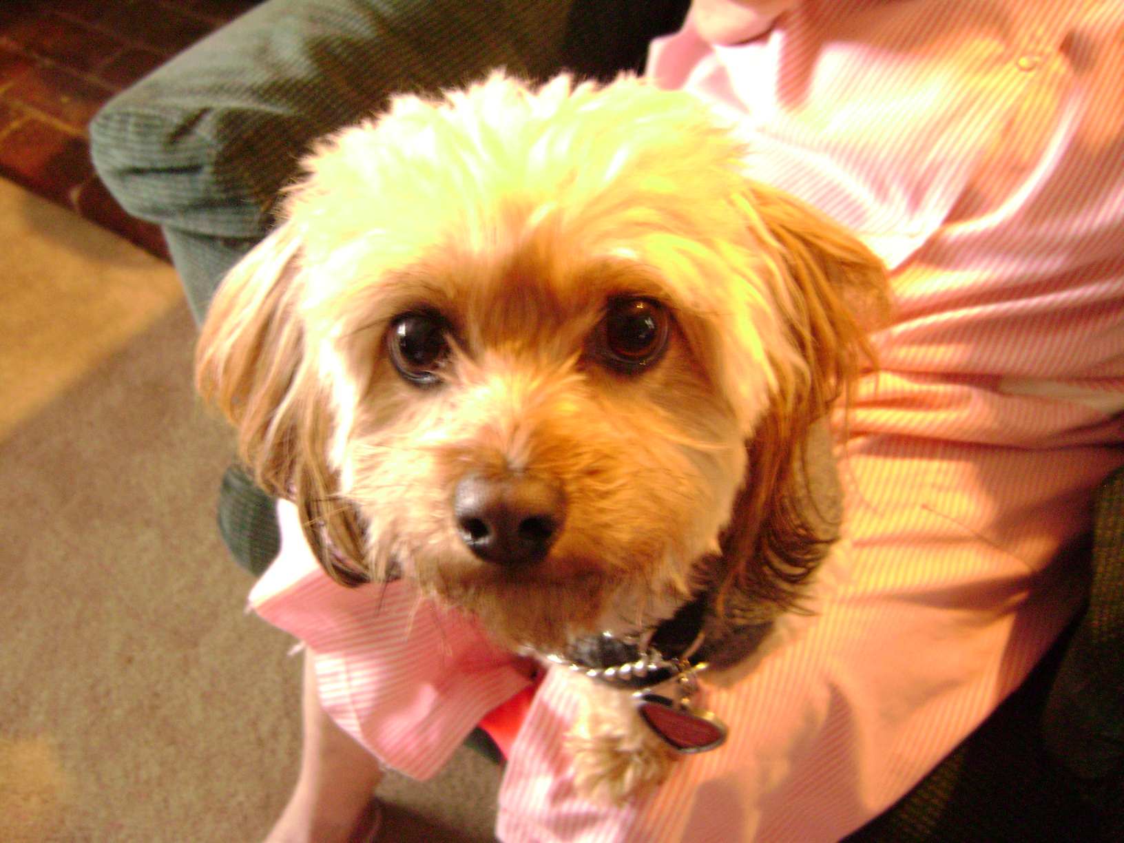 picture of Jeannette/Janet's s dog, Teddy little shih Tzu